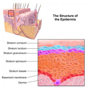 Structure of the Epidermis